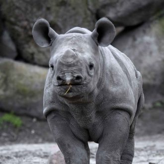 Zwarte neushoorn Nasor kijkt je aan
