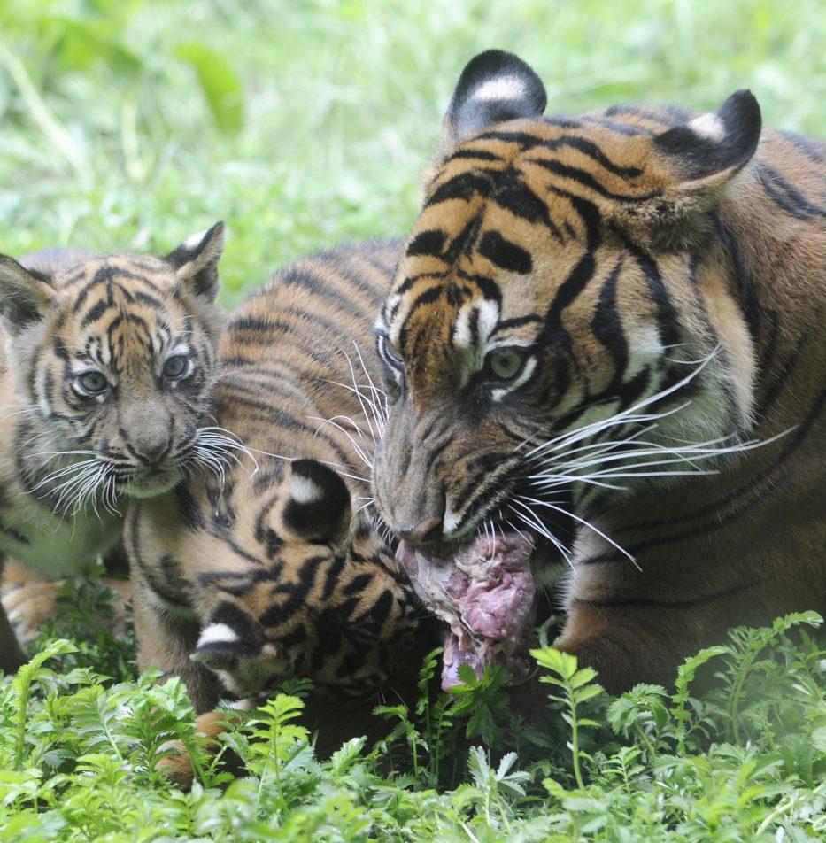 Sumatraanse tijger Alia met jongen