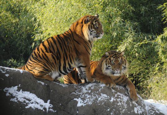Sumatraanse tijgers in de sneeuw