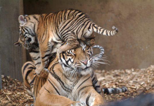 Sumatraanse tijger met een jong