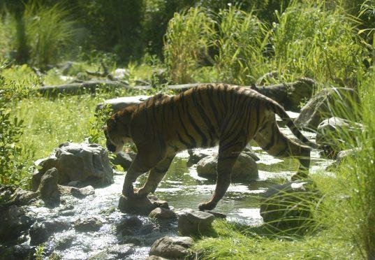 Sumatraanse tijger Alia