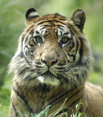 kop van een Sumatraanse tijger
