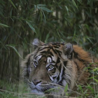 Sumatraanse tijger Emas
