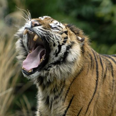 tijger geeuw