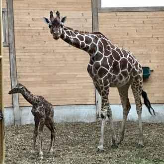pasgeboren girafje 2018