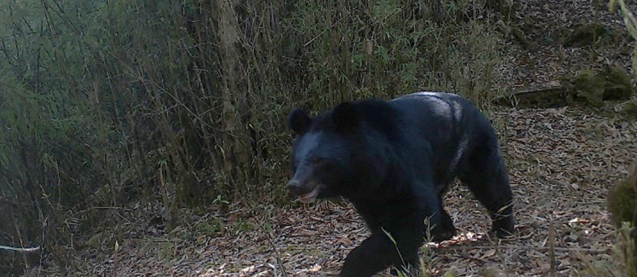 Beeld van cameraval Nepal Aziatische zwarte beer