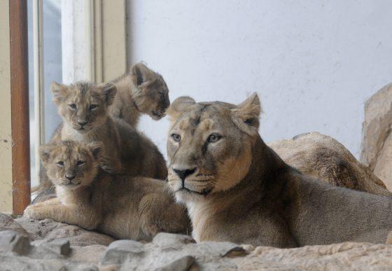 leeuwtjes voor het eerst in binnenverblijf