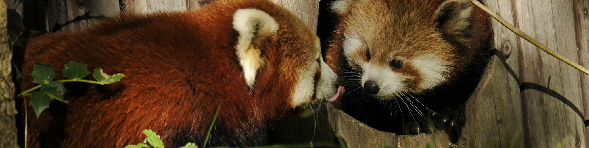 kleine rode pandajong met moeder