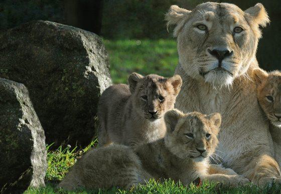 Aziatische leeuwin Lalana en haar 3 jongen
