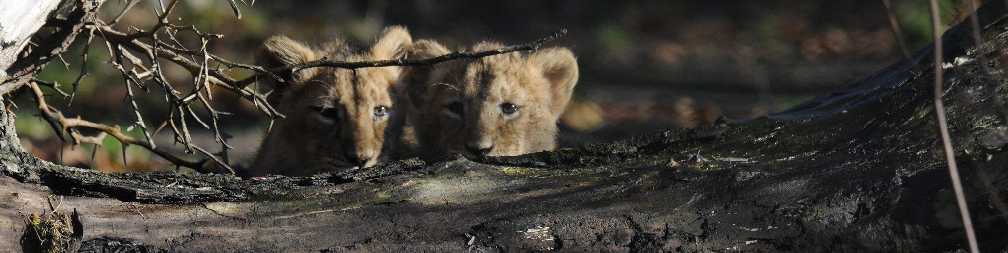 Aziatische leeuwenwelpjes verstoppen achter boomstam