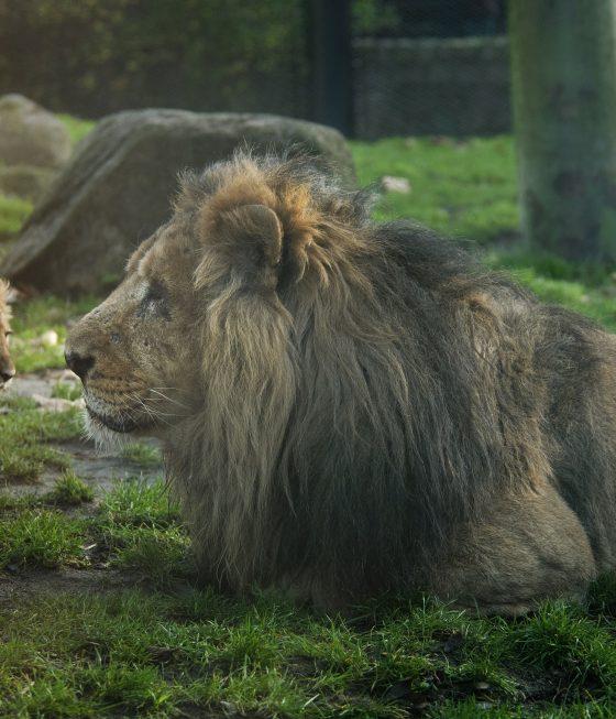 aziatische leeuw aapel en dochter diergaarde blijdorp