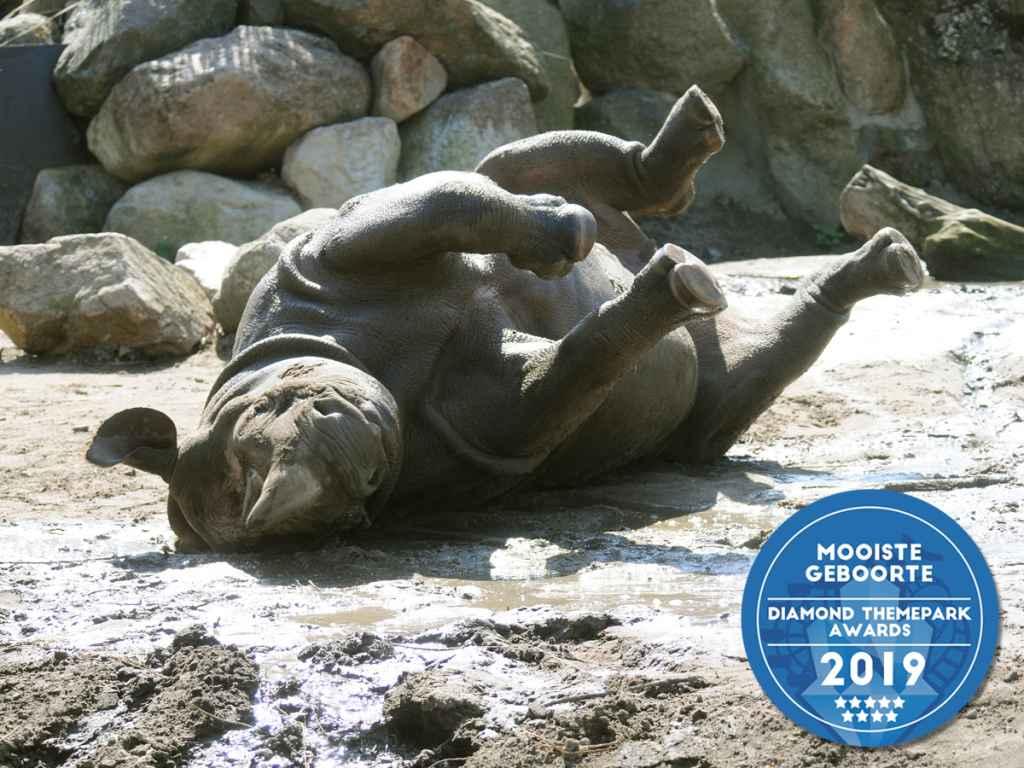 zwarte neushoorn Mara wint award 'Mooiste geboorte van België en Nederland'