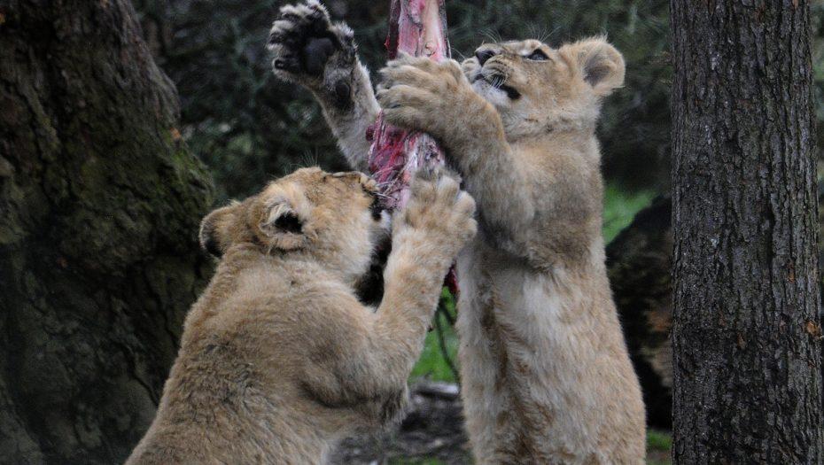 Voeren - Gedragsverrijking voor de Aziatische leeuwenwelpjes