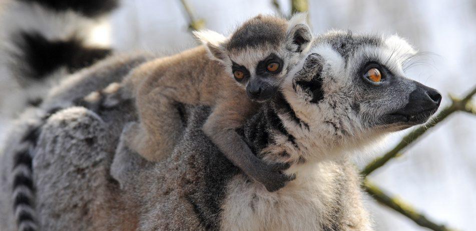 ringstaartmaki met een jong Maart 2019 ringstaartmaki's Lemur catta