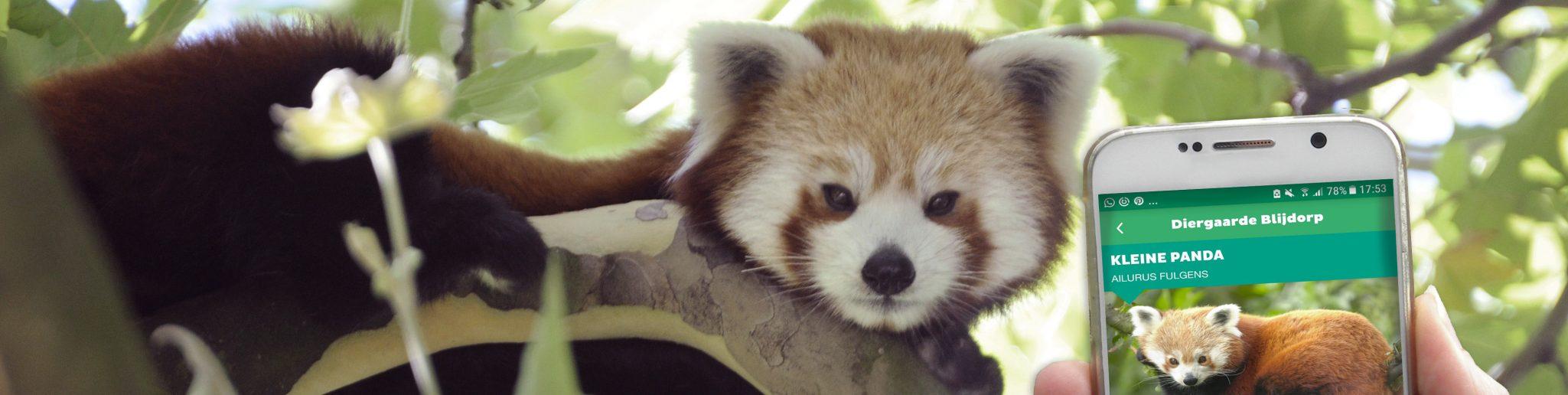 rode panda in een boom
