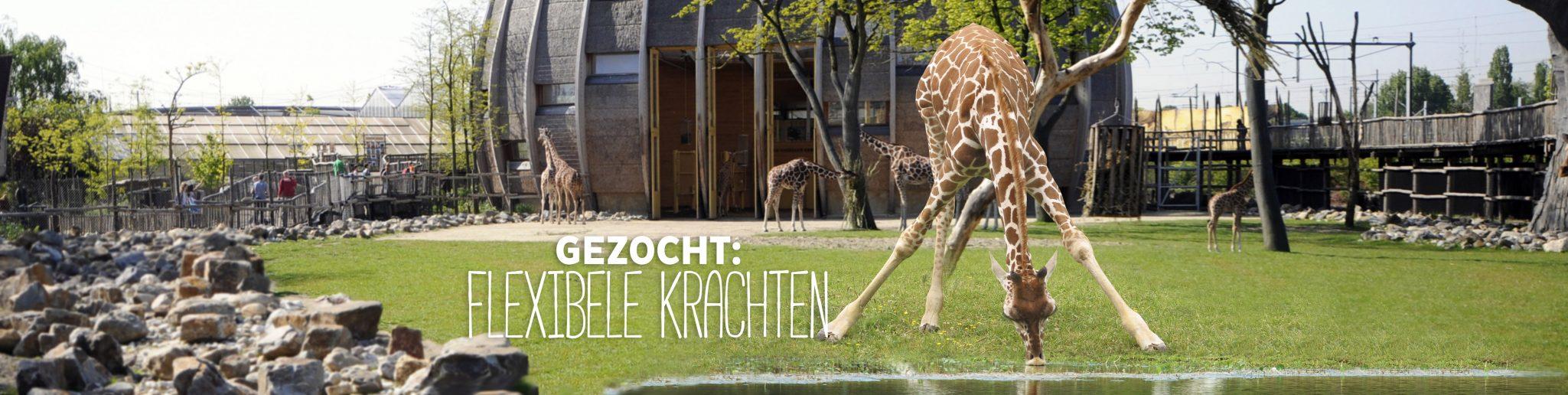 drinkende giraffe op savanne
