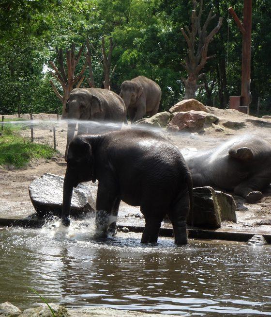 Verfrissende douche voor olifanten