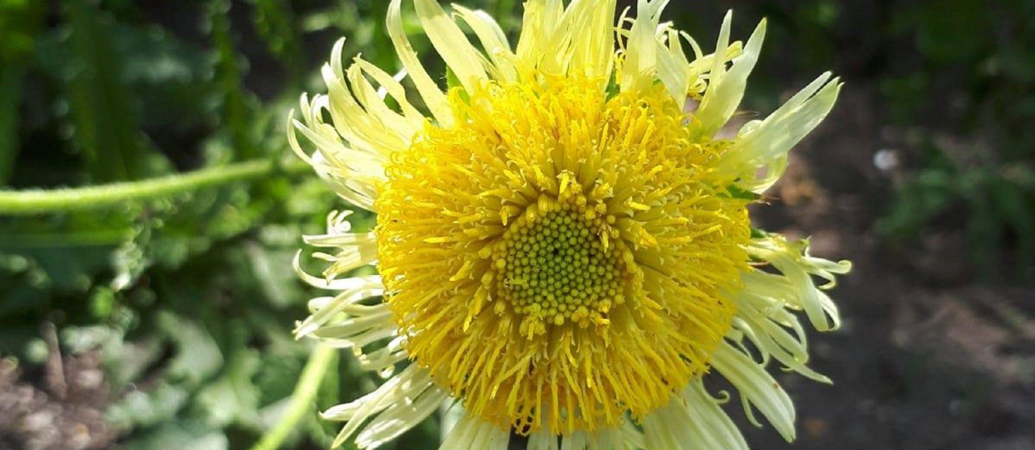 bloem afrikaanse distel Berkheya Radula