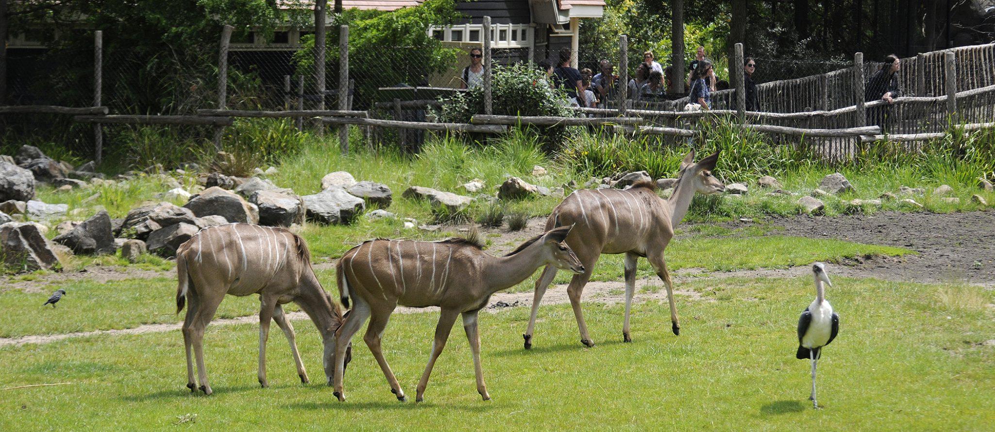 maraboe wandelt bij de koedoes op savanne