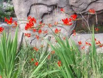 bloeiende bloem montbretia