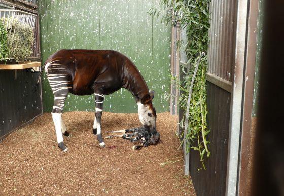 pasgeboren okapi