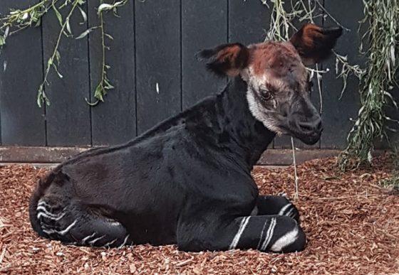 okapi Kisala ligt in stal