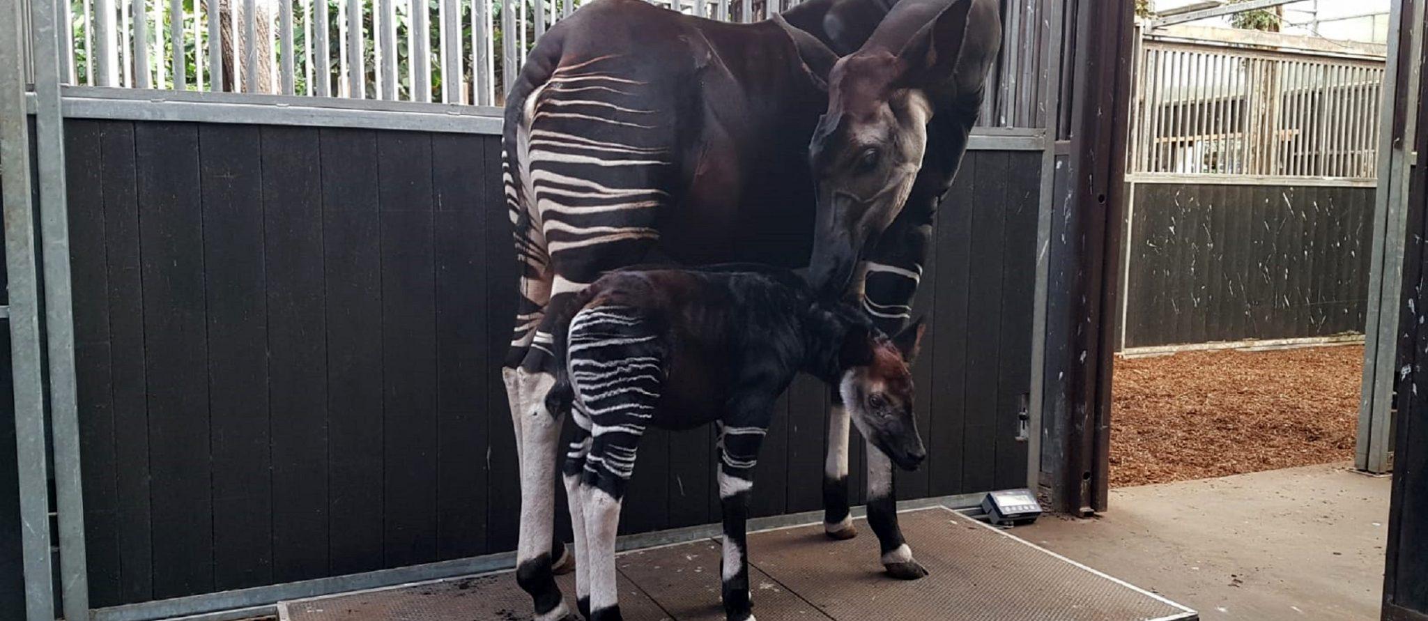okapi's op de weegschaal