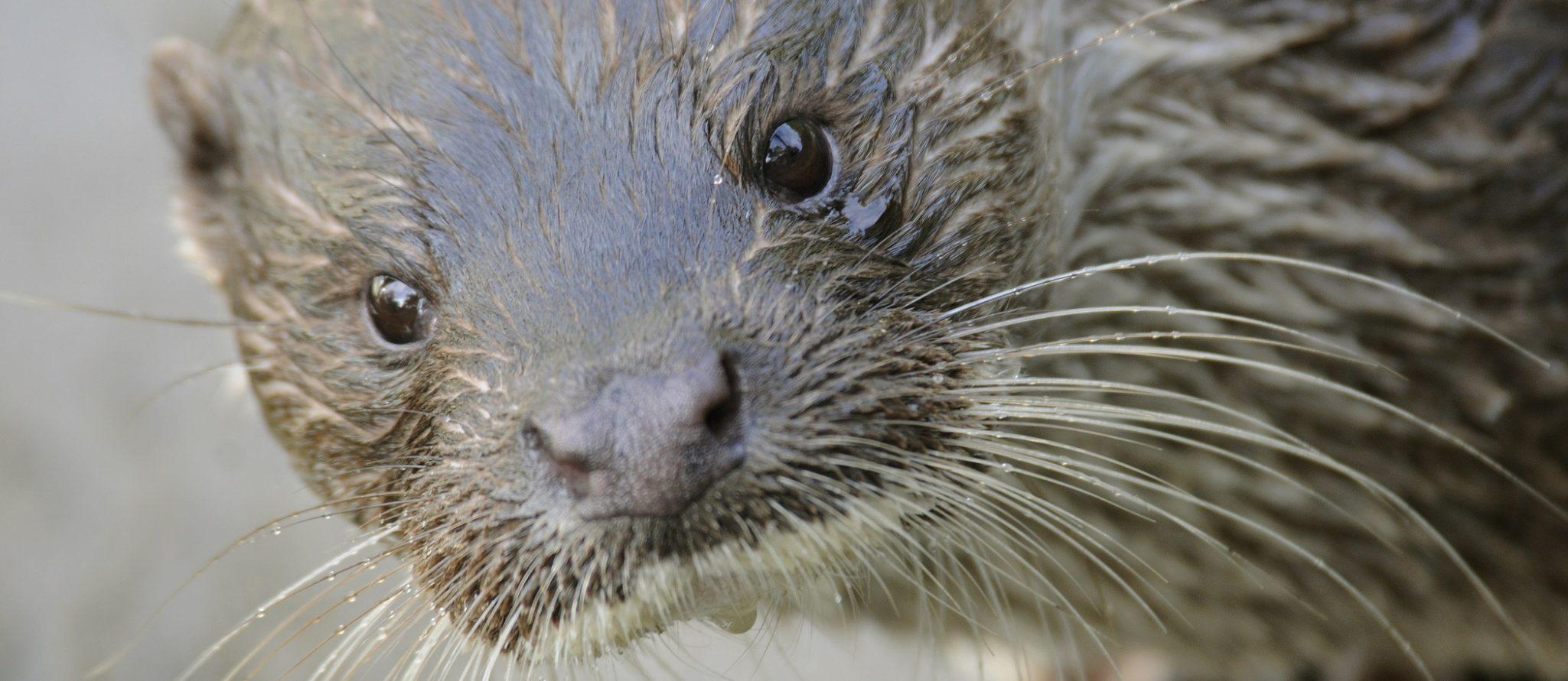 portret Europese otter