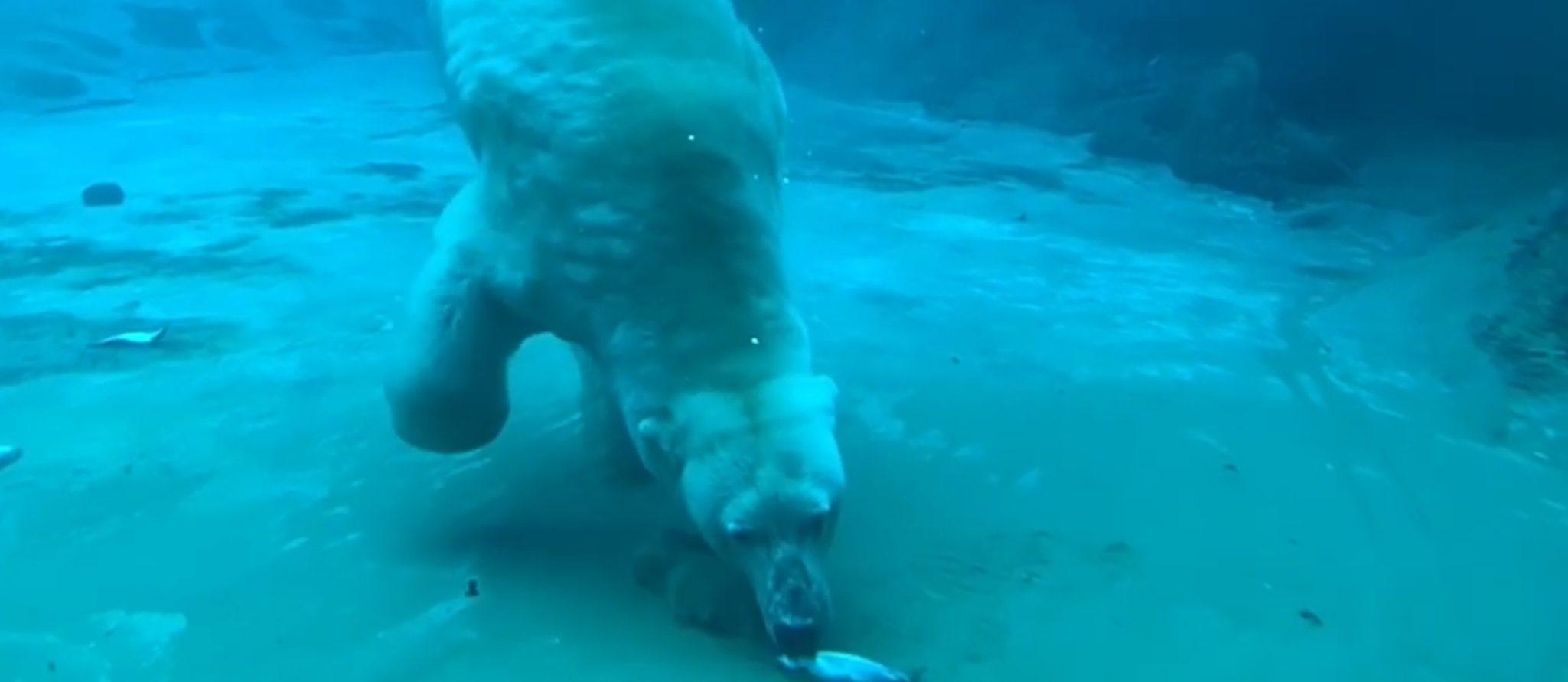 ijsbeer duikt naar vis