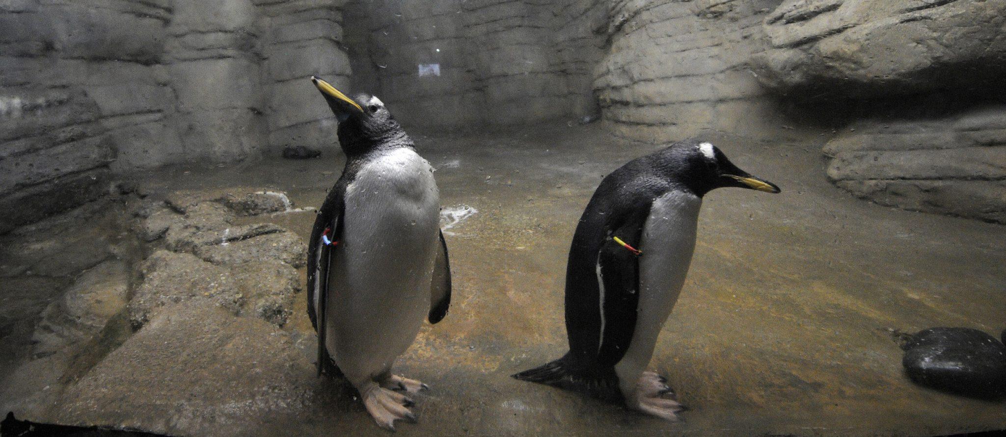 pinguins verkennen nieuw verblijf