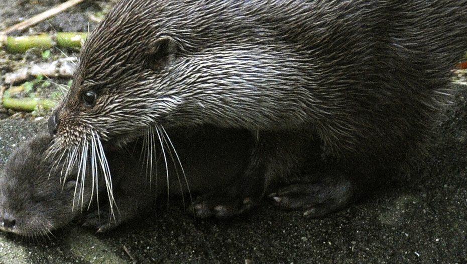 europese otter met jong