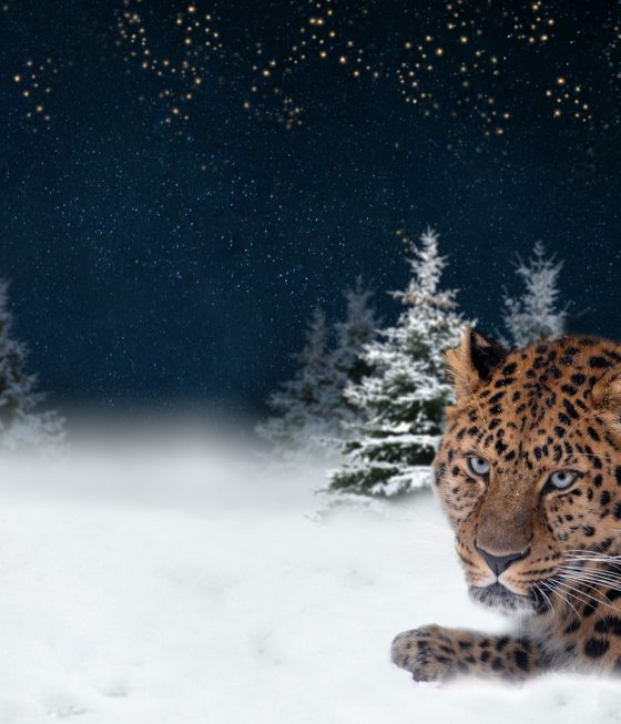 amoerpanter in sneeuw