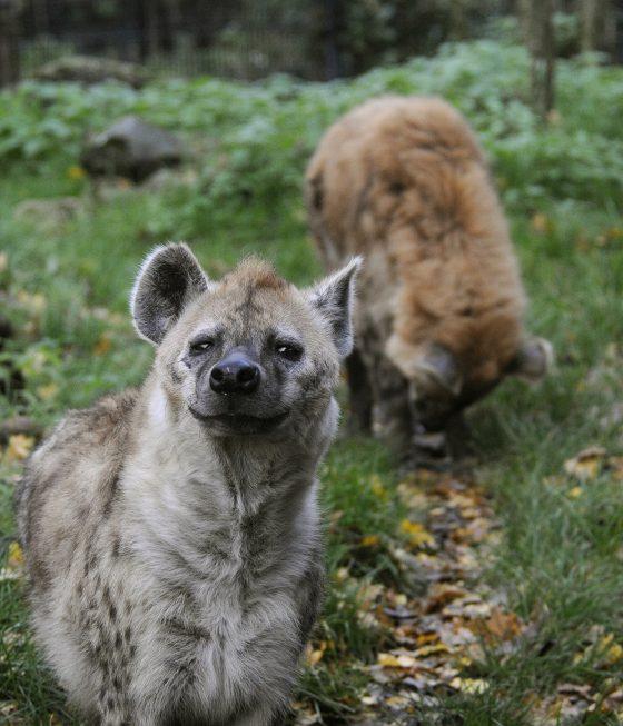 hyena kijkt in lens