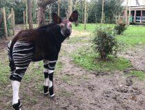 okapi kisala voor het eerst in buitenverblijf