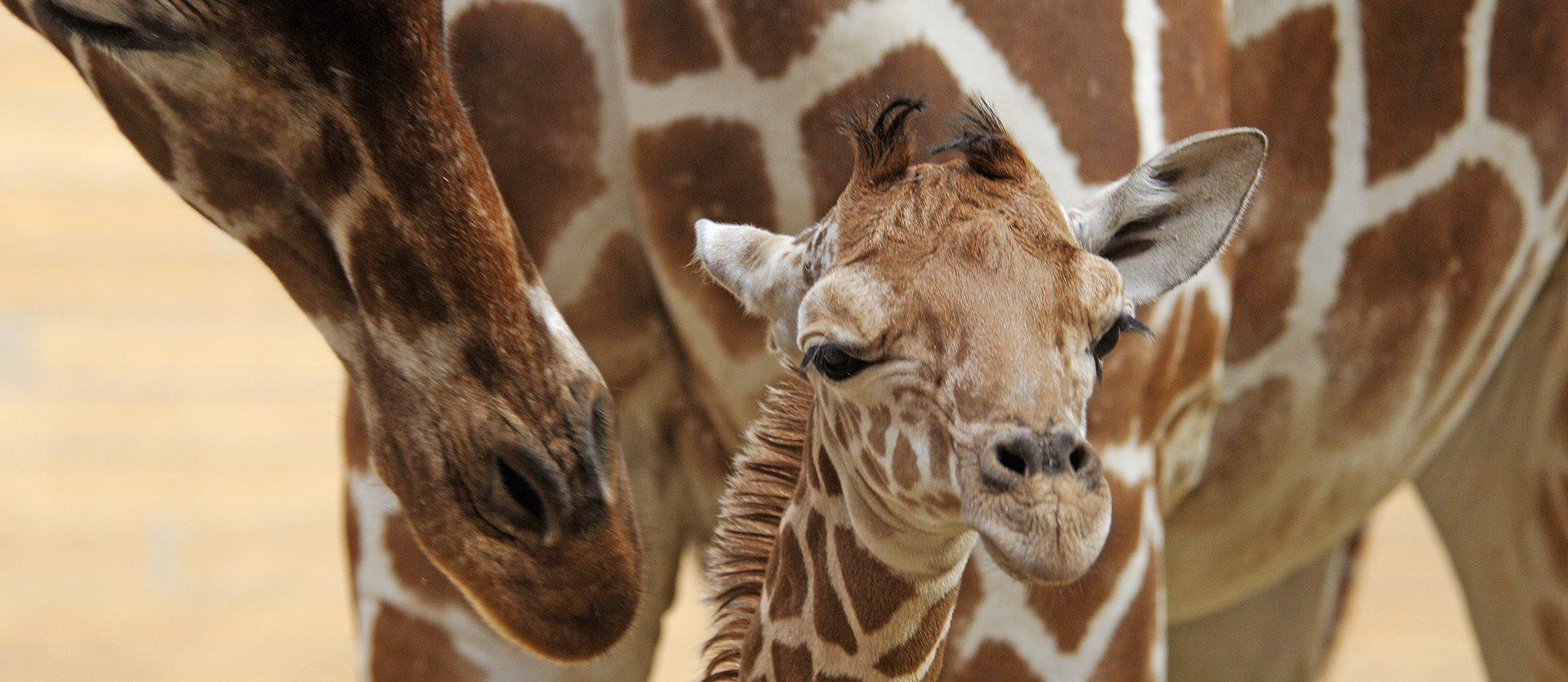 girafje Maartje (28 jan 2020)