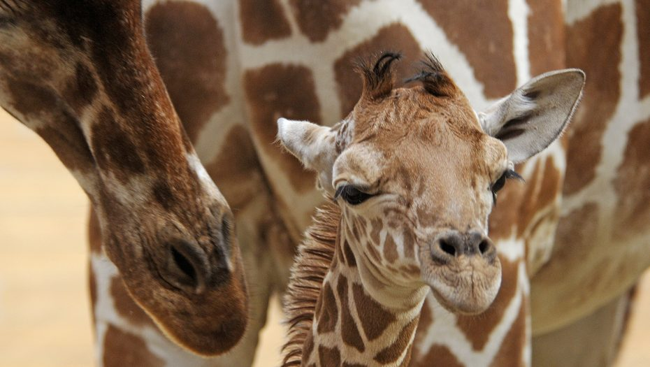 pasgeboren girafje
