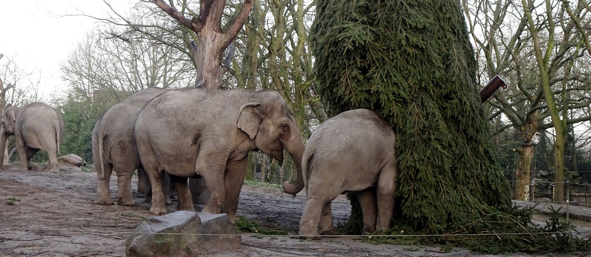 olifanten ontdekken nieuw speelmateriaal: kerstboom