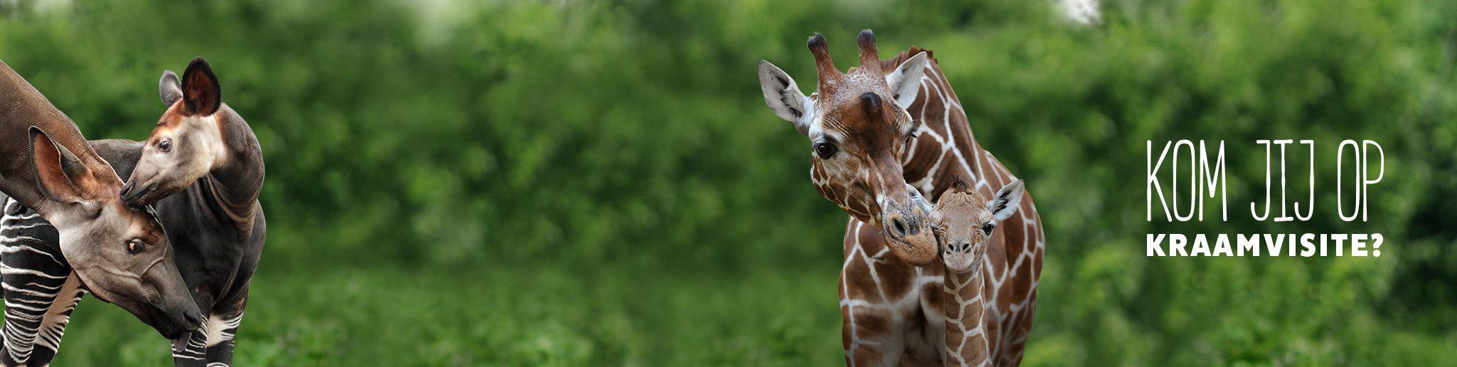 girafje en okapietje met moeder