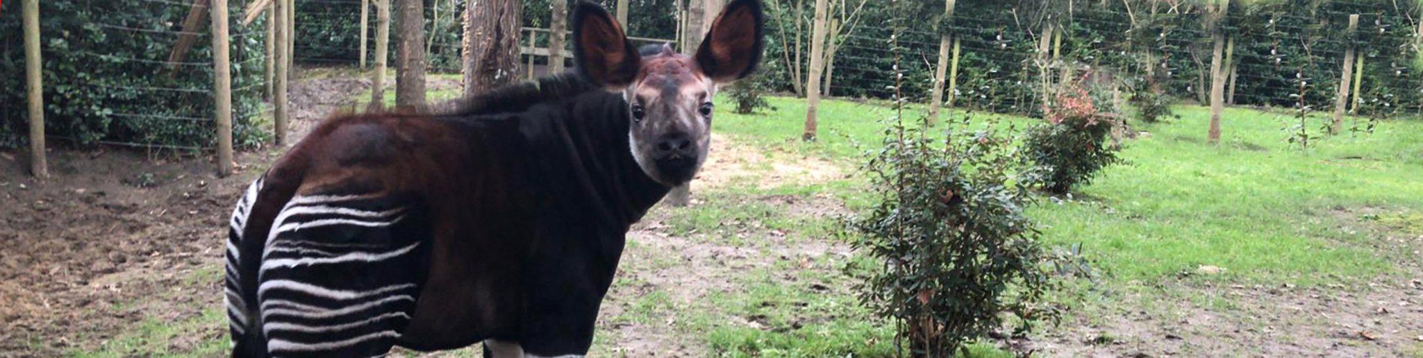 okapi-jong in buitenverblijf