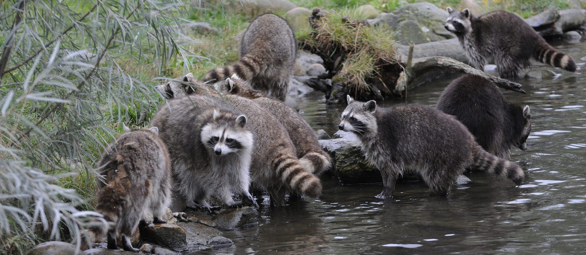 wasberen bij water in diergaarde blijdorp