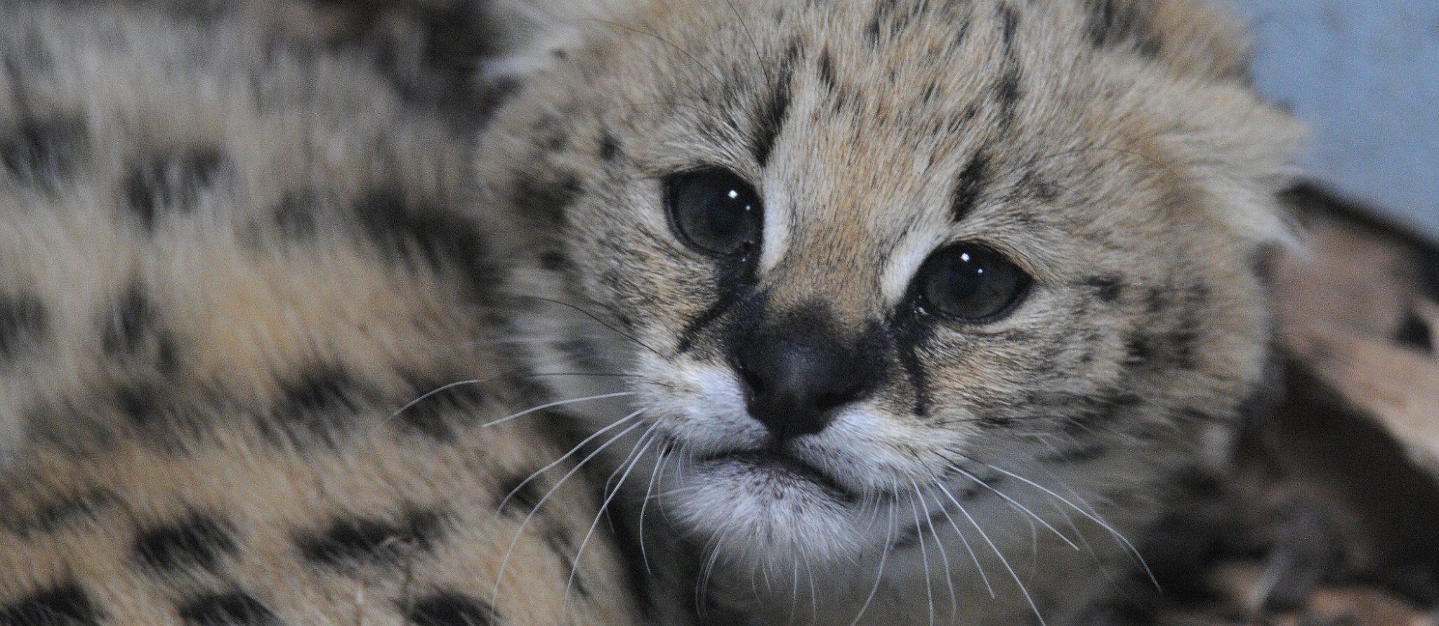 jonge serval