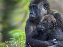 gorilla-jongen omarmen elkaar