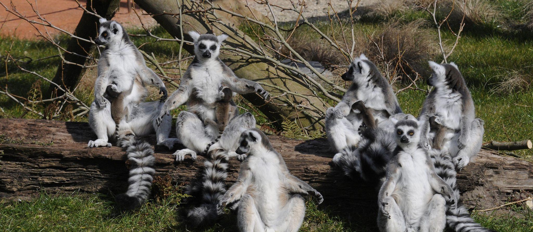 vier pasgeboren ringstaartmaki's bij moeders in de zon