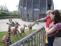 gezin kijkt naar giraffen
