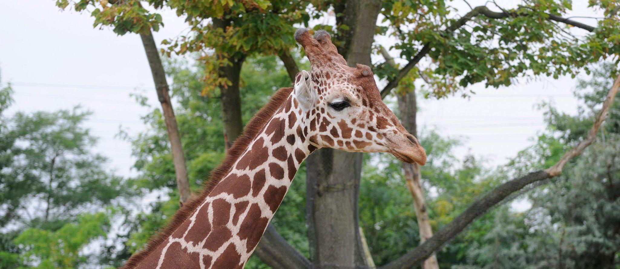 giraffehengst Banio kijkt uit over savanne in Blijdorp