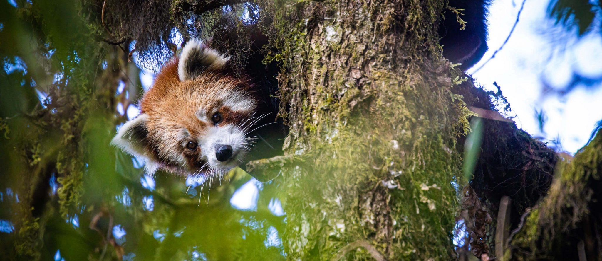 Eerste wilde kleine Panda met gps in Nepal