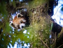 De eerste panda in het wild met GPS uitgezet met hulp van Janno Weerman uit Diergaarde Blijdorp.
