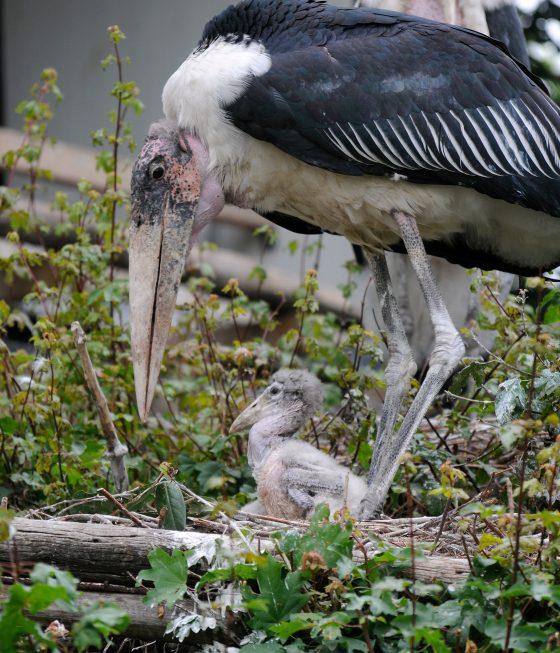 maraboekuiken op het nest met ouder