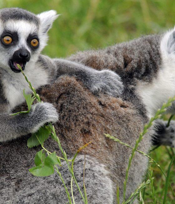 jonge ringstaartmaki op rug van moeder eet grassprietje