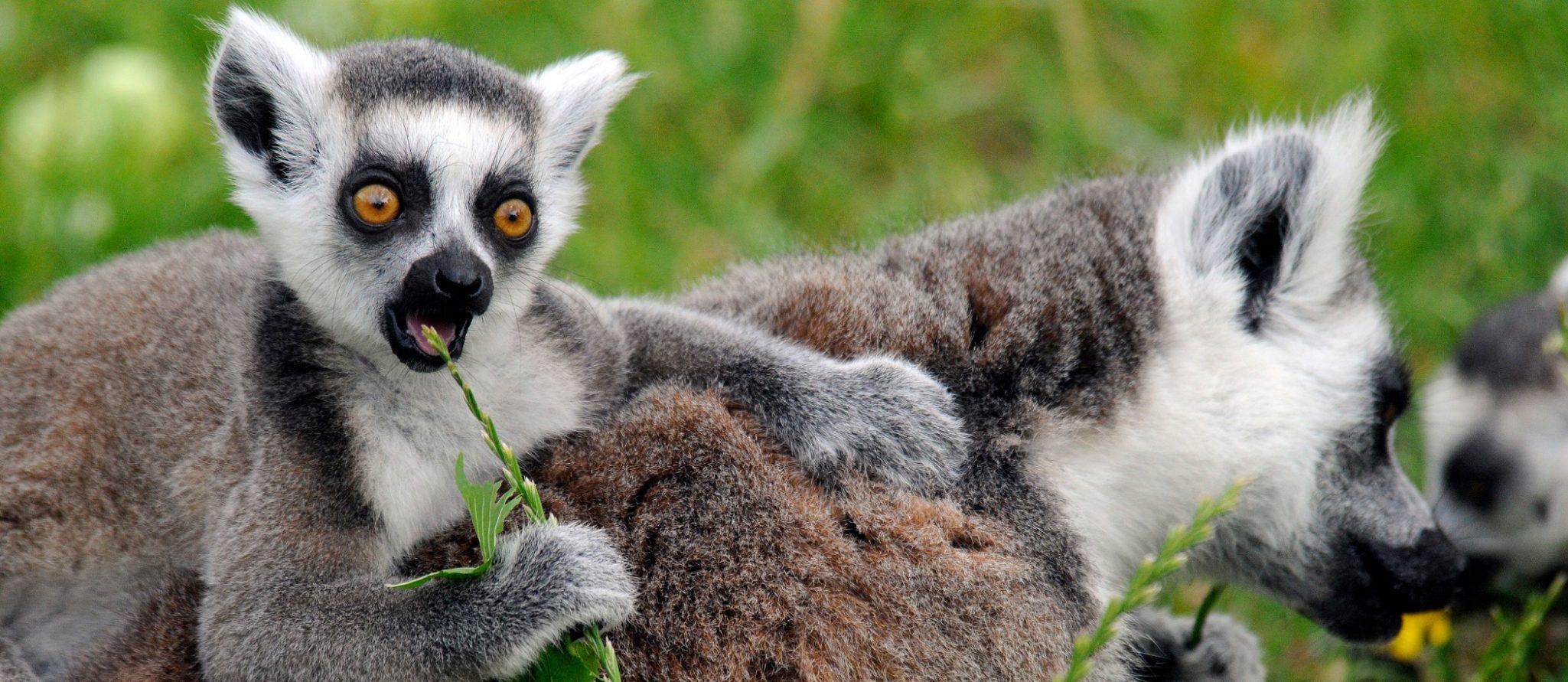 jonge ringstaartmaki op rug van moeder eet plantje